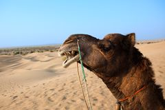 Camel sitting khuri dunes Royalty Free Stock Photography
