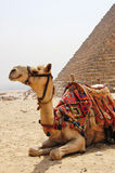 Camel sitting next to a pyramid at Giza Stock Images