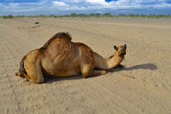 Camel sitting on the road Royalty Free Stock Image