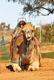 Camel sitting with saddle Stock Photos