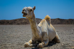 Camel sitting in Sahara desert Royalty Free Stock Image