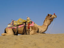 Camel sitting on sand dune. With saddle against blue sky Royalty Free Stock Images