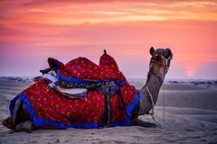 A camel sitting at sunset in a desert Stock Image