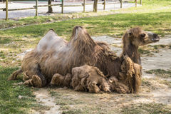 Camel Sitting in Zoo Stock Image