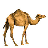 Camel sketch vector. Camel in full growth goes, sketch vector graphics color picture Royalty Free Stock Images