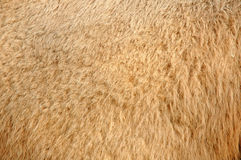Camel skin Royalty Free Stock Photo