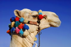 Camel On Sky Royalty Free Stock Image