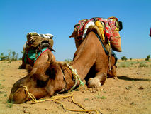 Camel sleeping. During a desert safari pause Royalty Free Stock Photos