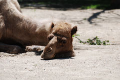 Camel Sleeping in the Sun Light Stock Images