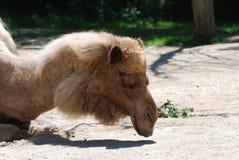Camel Sleeping in the Wam Sunshine Stock Photos