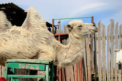 Camel. In a small village on the top of Crimean Mountains, Ai-Petri, Ukraine Stock Photo