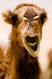 Camel Smile. A camel seems to be smiling in a close-up while it's eating in the Syrian desert Stock Photography