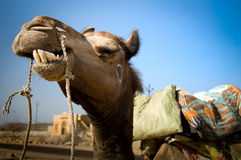 Camel Smile Royalty Free Stock Photos