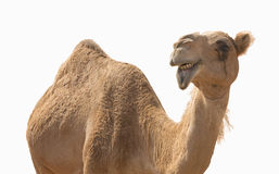 Camel smile Stock Photo