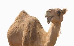 Camel smile. Camel on the white background Stock Photo