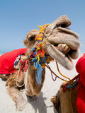 Camel Smile. Smiling Camel on Tunisian beach Royalty Free Stock Image