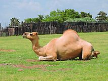 Camel. The Camel almost smiles as he lays in the sun soaking up the rays royalty free stock photos