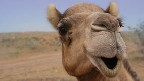 Camel Smiling Stock Photos