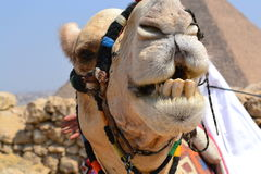 Camel smiling. Close up,  camel`s face in the egyptian Gisa desert Stock Photos