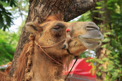 Camel smiling Stock Images