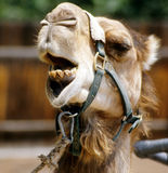 Camel speaks out Royalty Free Stock Photography