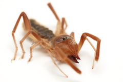 Camel spider Royalty Free Stock Image