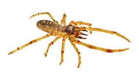 Camel Spider Royalty Free Stock Photo