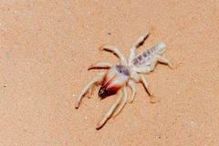 Camel Spider in the UAE Desert. A Camel Spider in the UAE Desert Sand at night royalty free stock photo