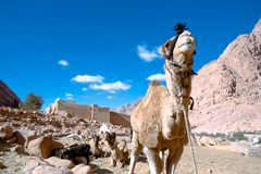 Camel at St. Catherine�s Monastery Stock Photography