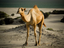 Camel Standing Royalty Free Stock Images