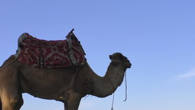 Camel standing against blue sky stock footage