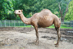 A camel standing Royalty Free Stock Photography