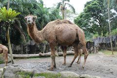 A camel standing with a curious look Stock Photo