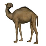 Camel standing - 3D render Royalty Free Stock Photos