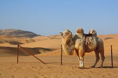 Camel standing in desert Stock Photo