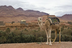 Camel standing in front of village view. Camel standing in front of view of oasis and village in Dades Gorge in Morocco Royalty Free Stock Photo