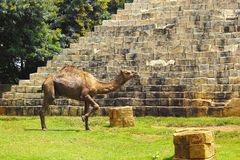 Free Camel Standing In The Zoo. Stock Image - 34409541