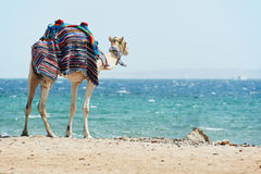 Camel at Red Sea beach Royalty Free Stock Photo