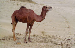 Camel standing on the sand in the desert Stock Images