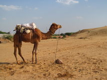 Camel standing on the sand in the desert Royalty Free Stock Photography