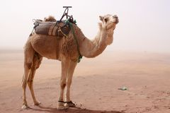 Camel standing in sand storm Stock Photography