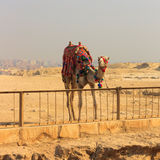 Camel standing to the pyramids Royalty Free Stock Photo