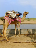 Camel standing by water reservoir in a small village during came Royalty Free Stock Photo