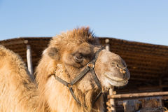 The camel stands on farmstead in the open-air cage Stock Photo