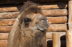 The camel stands on farmstead in the open-air cage Royalty Free Stock Photos