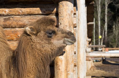 The camel stands on farmstead in the open-air cage Royalty Free Stock Photo