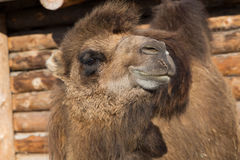 The camel stands on farmstead in the open-air cage Royalty Free Stock Images