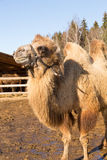 The camel stands on farmstead in the open-air cage Stock Image