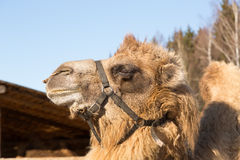 The camel stands on farmstead in the open-air cage Stock Photos