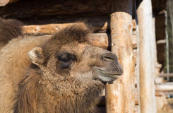 The camel stands on farmstead in the open-air cage Stock Photography
